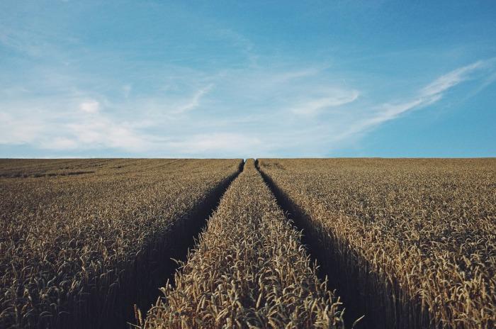 wheat-691935_1280